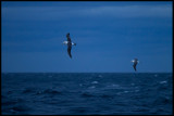 Late evening with White-capped Albatrosses near Stewart island