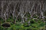 Dens forrest at Enderby Island