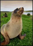 New Zealand Sealion - Sandy beach Enderby Island