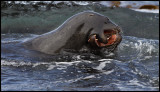 Young Sealions playing