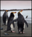Taking your friend to the beach - Royal penguins Macquarie Island