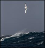 Royal Albatross in gale