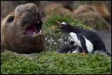 Gentoo penguin with chicks and Elephant Seal - Macquarie Island