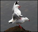 Red-billed Gulls mate - Campbell Island