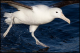 Northern Royal Albatross landing
