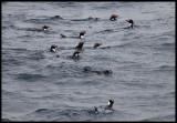 Snares Crested Penguins - Snares Island