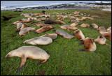 A harem of New Zealand Sea Lions - Enderby Island