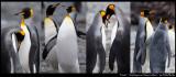 Friends......King Penguins at Macquarie Island