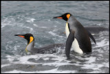 King Penguins taking a bath