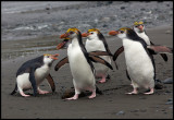 Come on boys (and girls?) - Royal penguins at Macquarie island