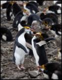 Royal Penguins Rock`n Roll