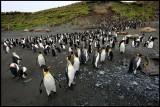 King- and Royal Penguins at Macquarie Island