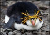 Resting Royal Penguin
