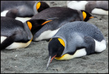 Resting King Penguins