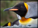 Resting King Penguin