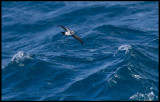 White-faced Storm Petrel near Chatham Island