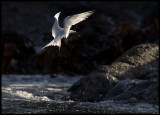 White-fronted Tern - South East Island - Chatham Islands