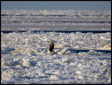 An adult Sea Eagle in the packice outside Grönhögen - 12 m/s northern wind and -10 degrees C