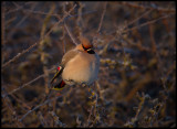 Waxwing at Ottenby 13 degrees below zero