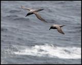 Light-mantled Sooty Albatrosses - Enderby Island (Auckland Islands)