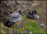 Nesting Light-mantled Sooty Albatrosses - Enderby Island