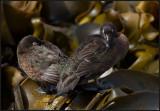 Flightless Teals resting at kelp at Enderby Island - Auckland Islands