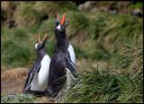 Gentoo Penguins - Maquarie