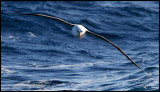 Touch down.... A Campbell Albatross flying low