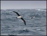 Grey-headed Albatrosses