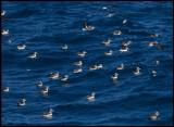 Chatham Albatrosses near Pyramid Island