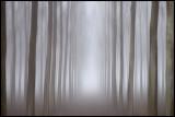 The gate of light - Fog in forrest near Sforzesca Italy