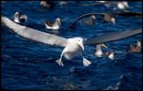 Northen Royal Albatross landing among Bullers Albatrosses