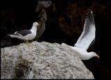 Kelp Gulls at Antipodes Island