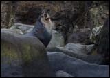 Subantarctic Furseal at Antipodes Island