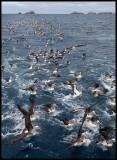 Chumming Salvins Albatrosses near Bounty Islands