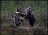A right hook shaking head.....two young bears having a fight