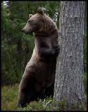 Bears in Finland 2010