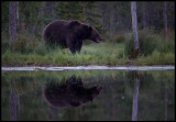 An old bear walking along the big pond