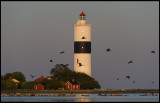 Cormorants in late summer evening at Ottenby - Långe Jan Lighthouse