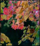 Colorful Maple leafs - Lönsås