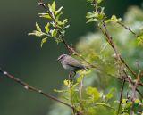 Humes´s leaf warbler 060526-727