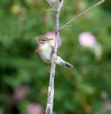 Booted Warbler 060606-770