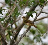 Blyth`s Reed Warbler 060530-724