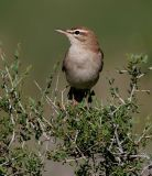 Birding Armenia 2005