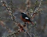 Güldenstädt's Redstart  male - Kazbegi