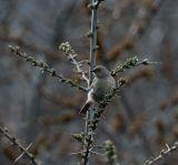 Güldenstädt's Redstart  female - Kazbegi