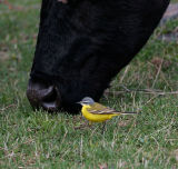 Yellow Wagtail and cow looking for food together in Kazbegi