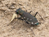 Punctured Tiger Beetle #1
