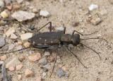 Punctured Tiger Beetle #2