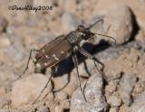 Western Tiger Beetle, Cicindela oregona
